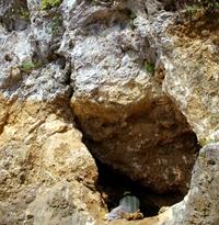 くるくまの森でリュウキュウジカの化石発見!