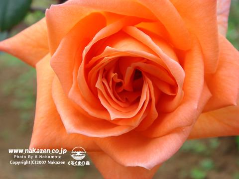 薬草園 薔薇